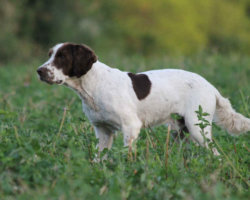 STUD DOG – Here is your opportunity!