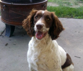 """Finished Gun Dog: High Plains Wind Racer  """"Lucy"""""""