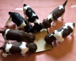 """FC Craney Hill Dalmore Dudley""""Dudley""""  x  Bayview Willow Pro """"Willow"""""""