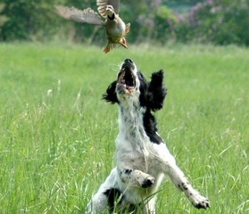 FTCH / AFTCH THISTLE'S BRAMBLES AND BRIARS  x  PHEASANT  FEATHERS UPLAND CHASER