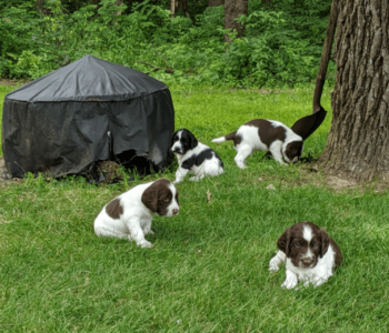 Litter Announcements - English Springer Spaniel Field