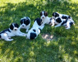 TWO LITTERS AVAILABLE IN CENTRAL MINNESOTA READY TO GO HOME AUG 1 AND SEP 11.