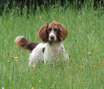Dogs Available - English Springer Spaniel Field